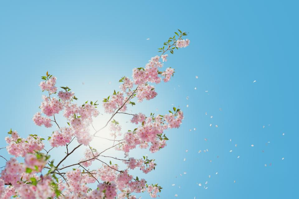 flowers, nature, pink, blossoms, spring, summer, branches, outdoors, trees, clear, blue, sky