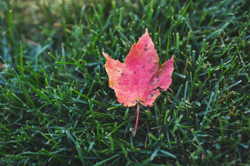 maple leaf, fall, autumn, green, grass, nature, outdoors