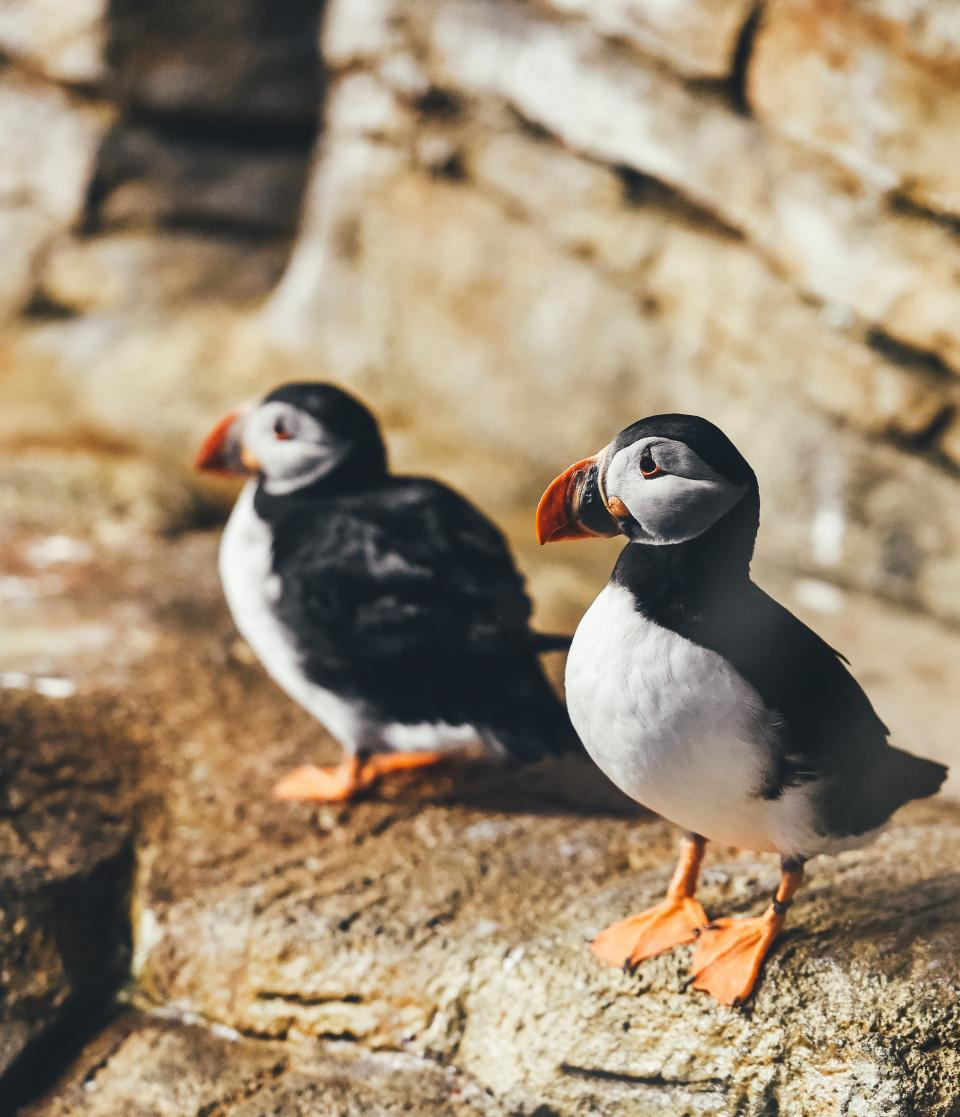 animals, birds, puffins, cute, adorable, beaks, black, white, perched, rocks, bokeh