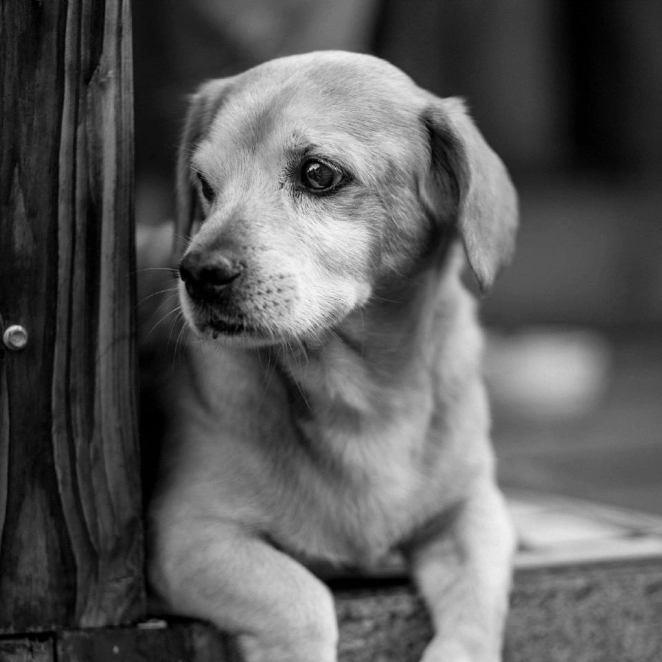 animals, dogs, domesticated, pets, adorable, cute, muzzle, sit, black and white
