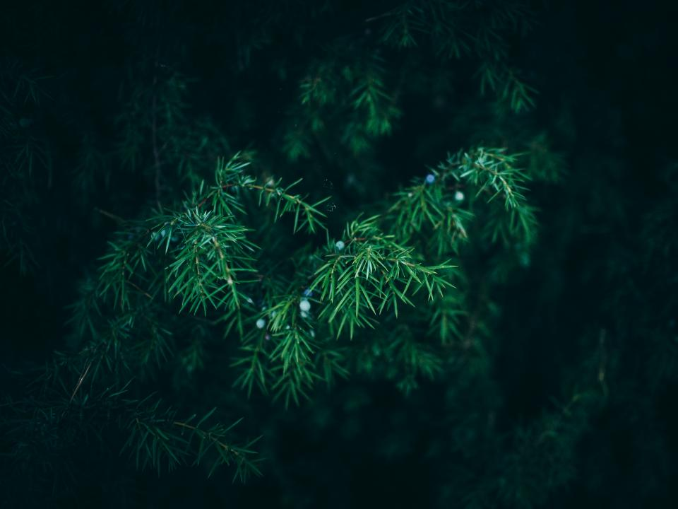 green, bush, plants, trees, nature, outdoors, pine leaves