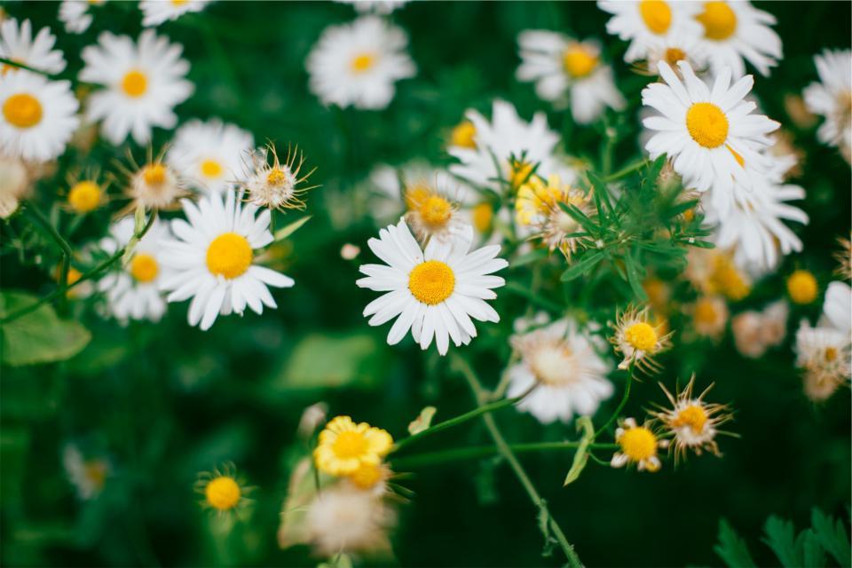daisies, daisy, flowers, garden