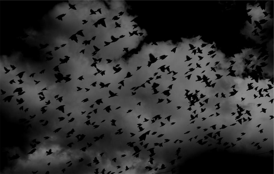 birds, flock, wings, flying, sky, clouds, black and white