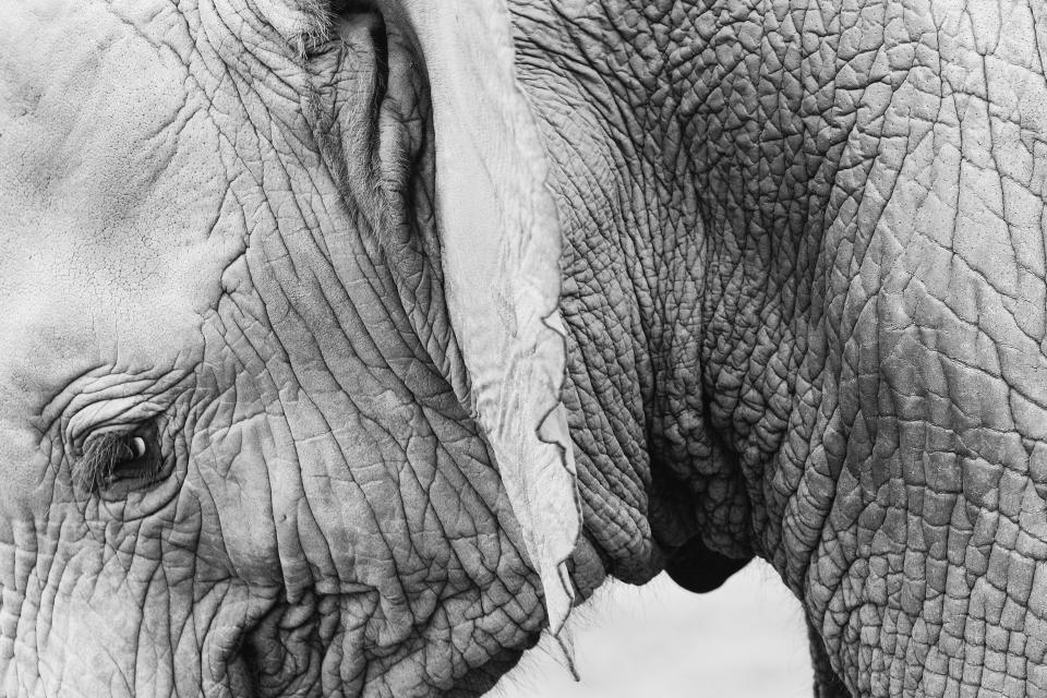 elephant, animals, black and white
