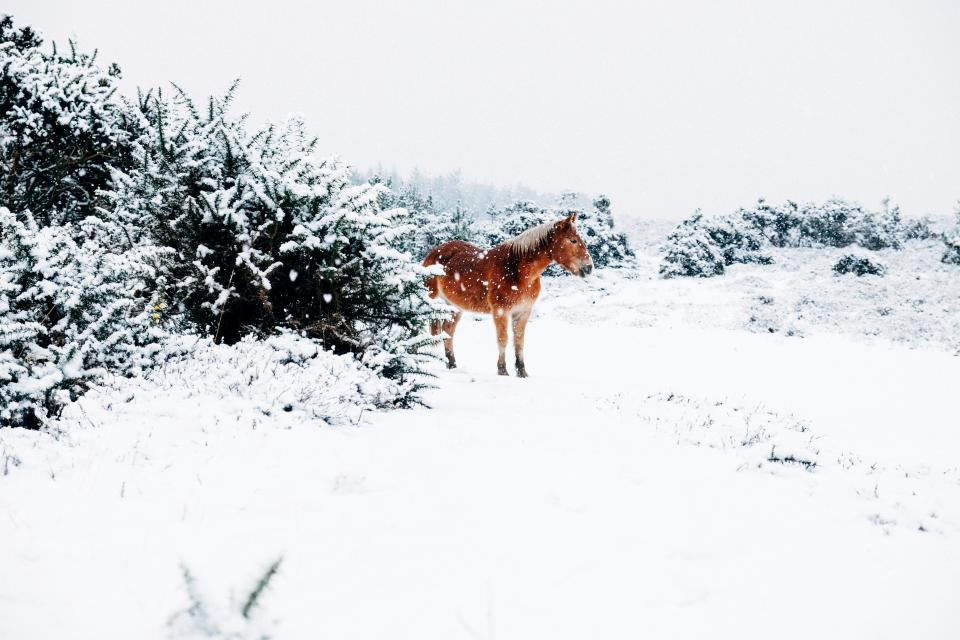 horse, animals, snow, winter, cold, white, outdoors, nature, trees