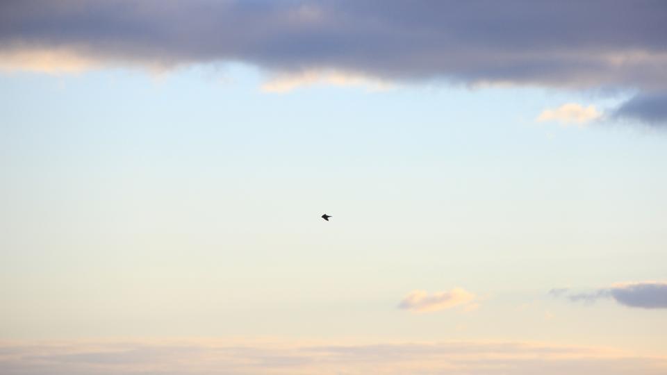 bird, flying, animals, sky, clouds, nature