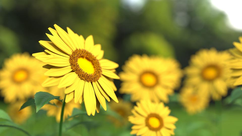 flowers, nature, blossoms, branches, stems, stalk, yellow, sunflowers, petals, leaves, bed, field, outdoors, bokeh