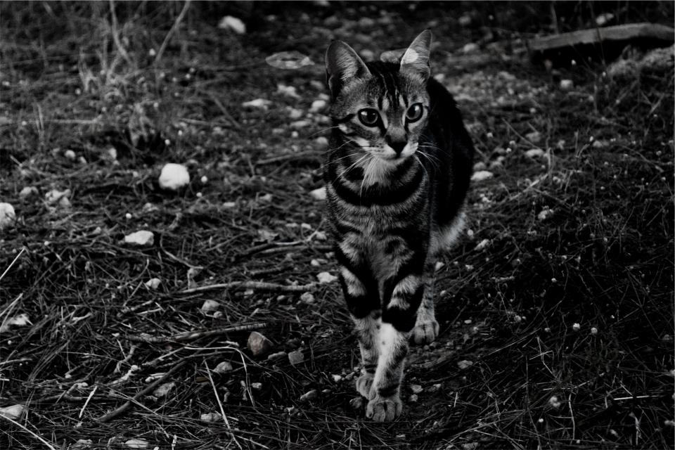 cat, pet, animal, black and white
